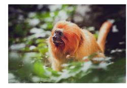 Un singe qui ressemble à un lion, reste un singe et pas un lion.