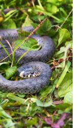 Peur des serpents